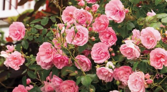 Роза 'The Fairy'