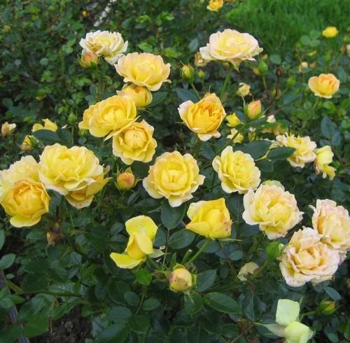 Роза флорибунда YELLOW SUBMARINE
