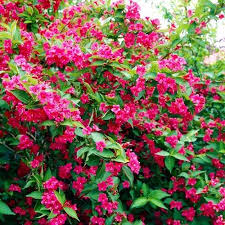 Вейгела 'Bristol Ruby' (Weigela Bristol Ruby)
