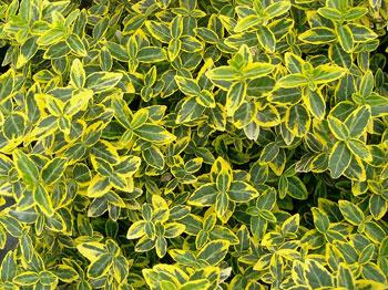 Бересклет вечнозеленый, бересклет Форчуна «Emerald Gold»