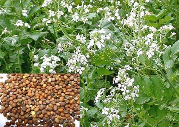 Семена редька масленичная (сидерат)