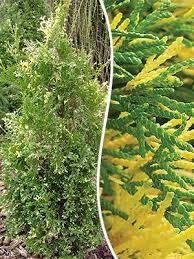 Туя западная «Smaragd Variegata»  (Thuja occidentalis «Smaragd Variegata»)