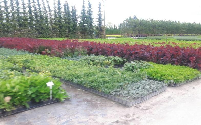 Саженцы с ЗКС в контейнерах P9 Производство Польша (опт)  (туя Смарагд (Smaragd), туя Брабант (Brabant),  хвойные и лиственные растения в т.ч. рододендрон и многое другое. Большой выбор.