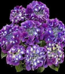 Frisbee Purple (крупнолистная гортензия) Hydrangea macrophylla «Frisbee Purple»