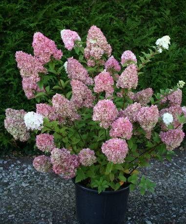 Гортензия метельчатая «Сандей Фрейз» (Hydrangea paniculata »Sunde Fraise»® «Rensun»)