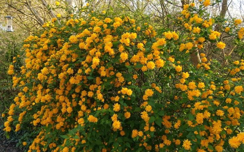 Керрия японская Пленифлора (Kerria japonica »Pleniflora»)