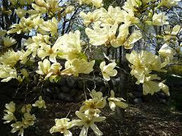 Магнолия  »Elizabeth» (Magnolia »Elizabeth»)
