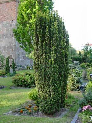 Тисс средний Стрикта Варидис (Taxus media Stricta viridis)