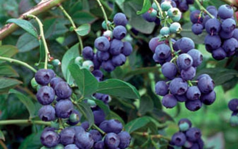 Голубика «Блюкроп» (Vaccinium 'Bluecrop' )