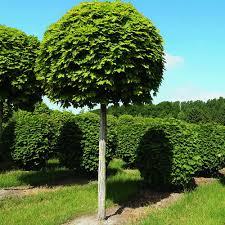 Клен остролистный Глобозум ( Acer platanoides Globosum) Клён платановидный шаровидный