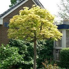 Клен остролистный Голден Глоб (Acer platanoides Golden Globe) Клён платановидный Золотой шар