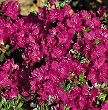 Азалия японская Пурпуртраум (Azalea japonica Purpurtraum)