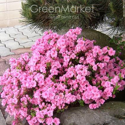 Азалия японская /рододендрон Розинетта, (Azalea japonica Rosinetta)