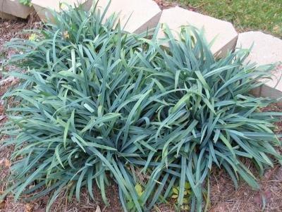 Осока открытостебельная Bunny Blue (Carex laxiculmus Bunny Blue)