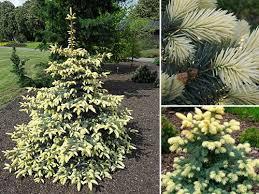Ель колючая «Биалобок» (Picea pungens 'Bialobok')