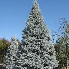 Ель колючая «Хупси» (Picea pungens 'Hoopsii')