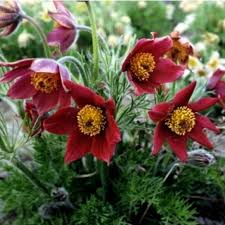 Прострел обыкновенный Red Bells (Ред Белс) (Pulsatilla vulgaris ''Pinwheel Red Bells)
