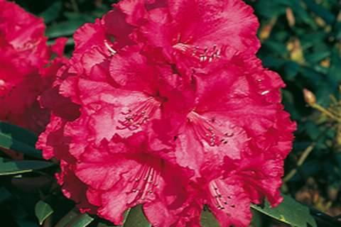 Рододендрон Andantino (Rhododendron »Andantino»)
