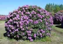 """Рододендрон """"Катавбинзе Бурсо"""" (Rhododendron»CatawbienseBoursault»)"""