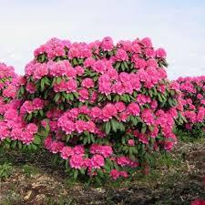 """Рододендрон """"Катарина ван Тол"""" (Rhododendron «Catharine van Tol»)"""