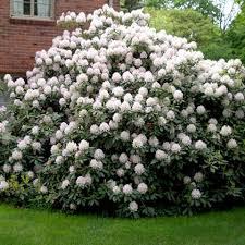 Рододендрон Каннингемс Уайт (Rhododendron Cunningham`s White)