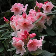 Рододендрон Ханя (Rhododendron»Hania»)
