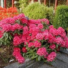 Рододендрон Нова Зембла (красный, вечнозелёный)  (Rhododendron Nova Zembla (red, evergreen) )