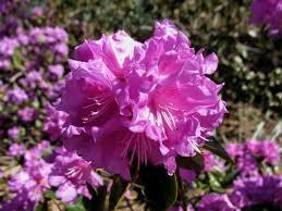 Рододендрон каролинский П.Ж.М. Элит (Rhododendron carolinianum P.J.M. Elite)