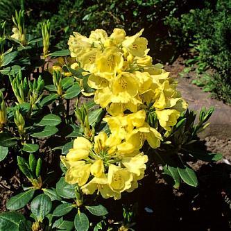 Рододендрон вечнозеленый Goldkrone (Голдкрон) (Rhododendron »Goldkrone»)