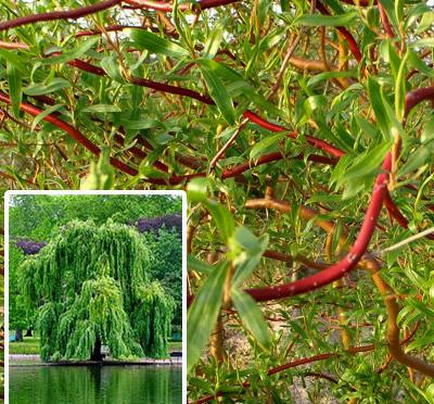 Salix' Erythroflexuosa'