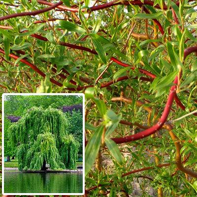 Ива спиралевидная Эритрофлексиоза (Salix Erythroflexuosa)