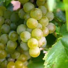 Виноград «Интерлакен» (Vitis 'Interlaken')
