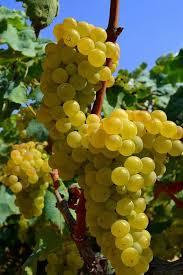 Виноград Сувиль  (Vitis Suwile)