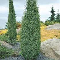 Можжевельник Хиберника ( Juniperus communis Hibernica )