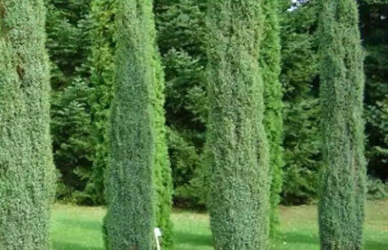 Можжевельник обыкновенный 'Arnold' Juniperus communis `Arnold`