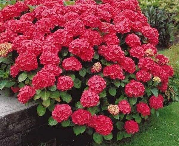 Гортензия крупнолистная «Форевер энд Эвер»(Hydrangea macrophylla «Forever and Ever Red»)