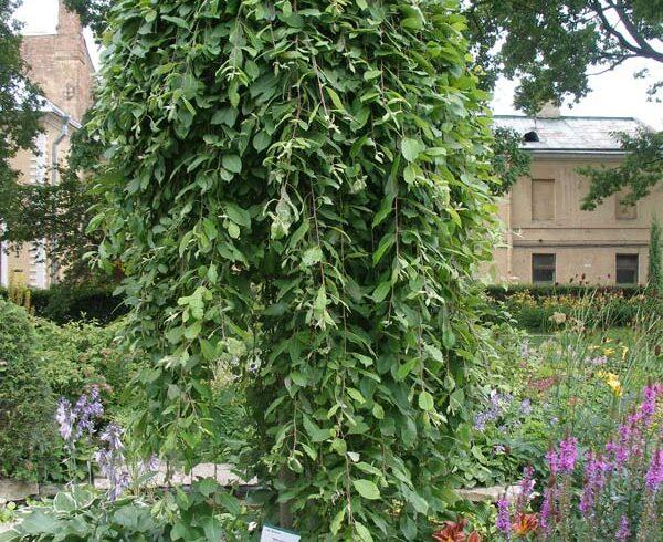 Ива козья «Килмарнок» (Salix caprea «Kilmernock»)