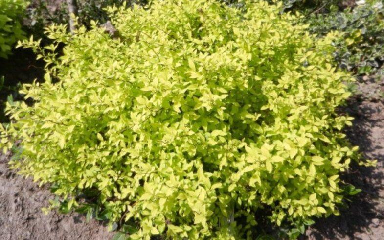 Спирея японская «Голден Карпет» (Spiraea japonica «Golden Carpet»)