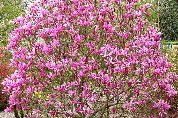 Магнолия лилиецветная «Нигра»((Magnolia liliflora «Nigra»)