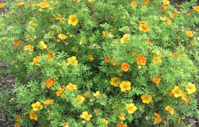 Лапчатка кустарниковая «Танжерин»(potentilla fruticosa «Tangerine»)