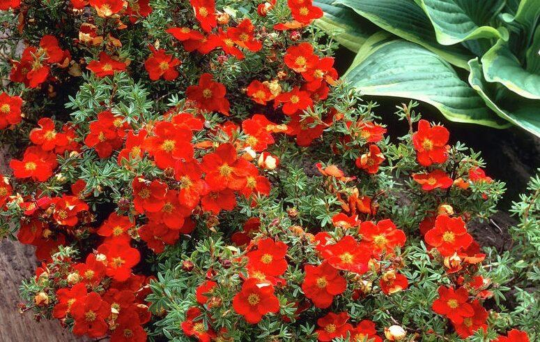 Лапчатка кустарниковая «Рэд Джокер» (Potentilla fruticosa 'RED JOKER')
