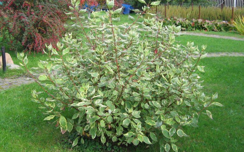 Дерен белый «Sibirica variegata» (Cornus alba Sibirica Variegata)