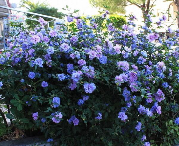 Гибискус сирийский «Блю Шифон»(hibiscus syriacus «Blue Chiffon»)