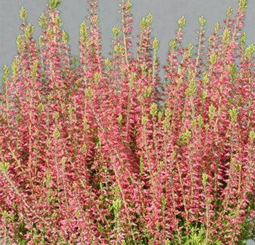 Вереск обыкновенный «Энджи»(Calluna vulgaris «Angie»)