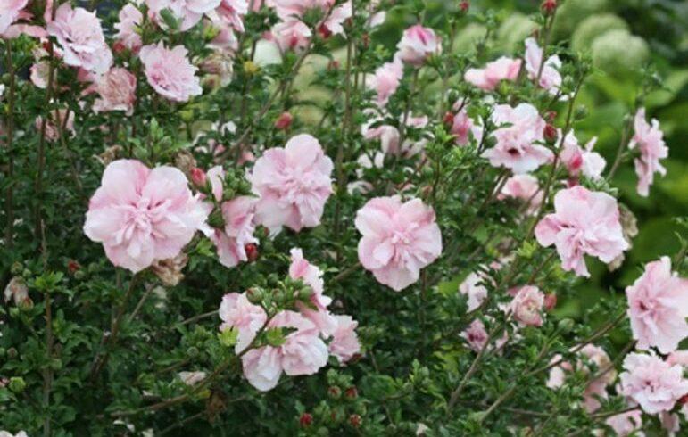 Гибискус сирийский «Пинк Шифон»(Hibiscus syriacus «Pink Chiffon»)