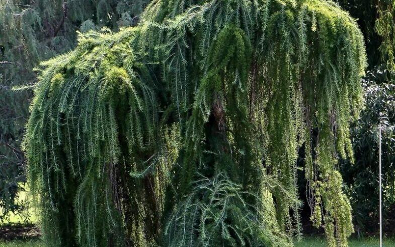 Лиственница европейская «Пендула»(Larix decidua `Pendula)