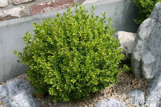 Самшит мелколистный «Фолкнер» Buxus microphylla «Faulkner»