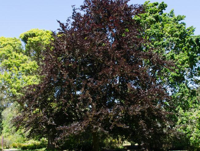Бук лесной «Атропуницея»(Fagus sylvatica «Atropunicea»)