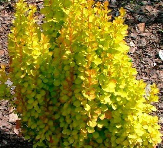 Барбарис Тунберга «Голден торч» (Berberis thunbergii Golden Torch)