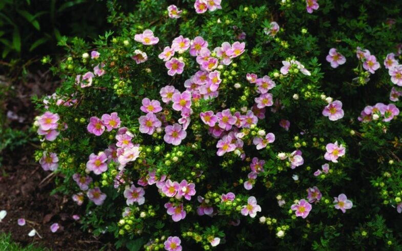 Лапчатка кустарниковая «Пинк Куин»(potentilla fruticosa «Pink Queen»)